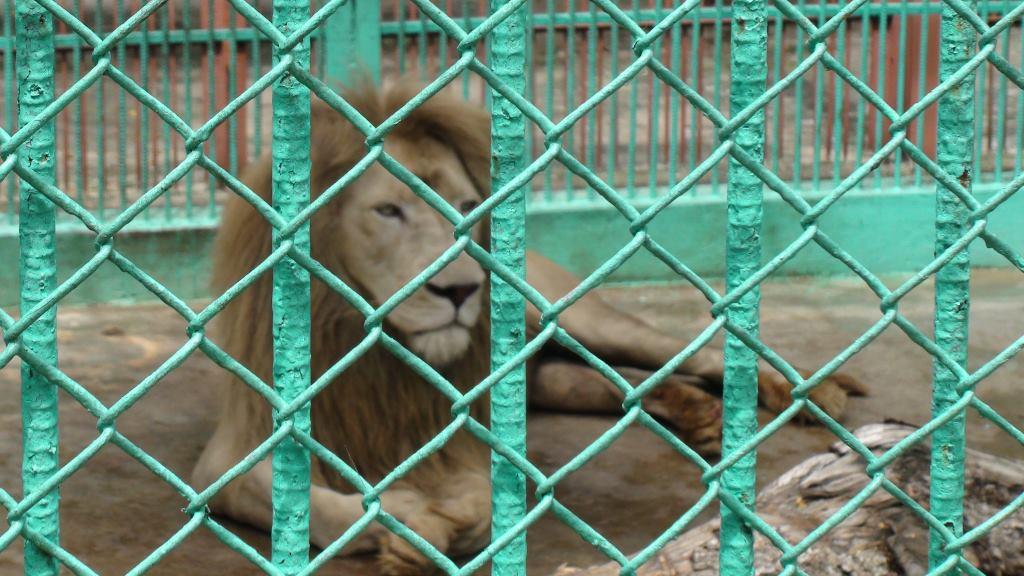 lion cuba