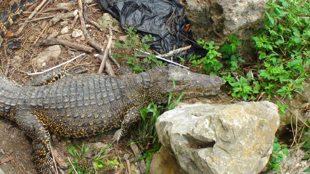 Crocodiles CUba