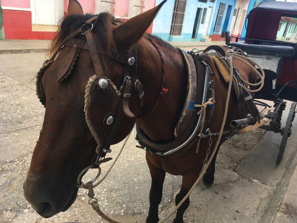 trinidad horse coach