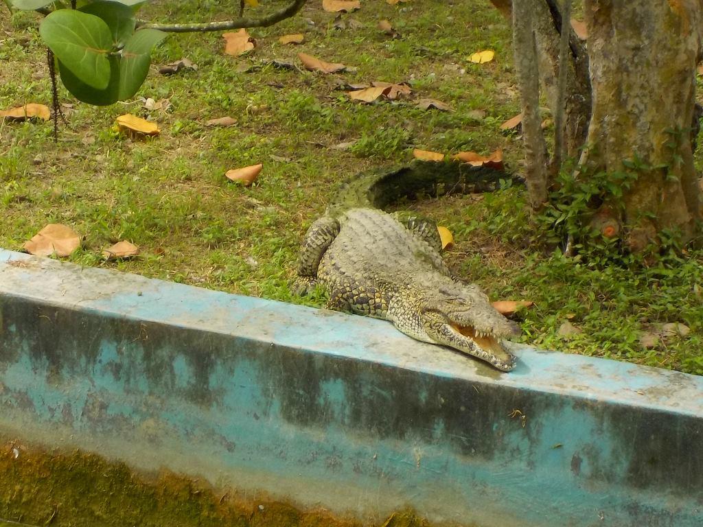 crocodile havana cuba