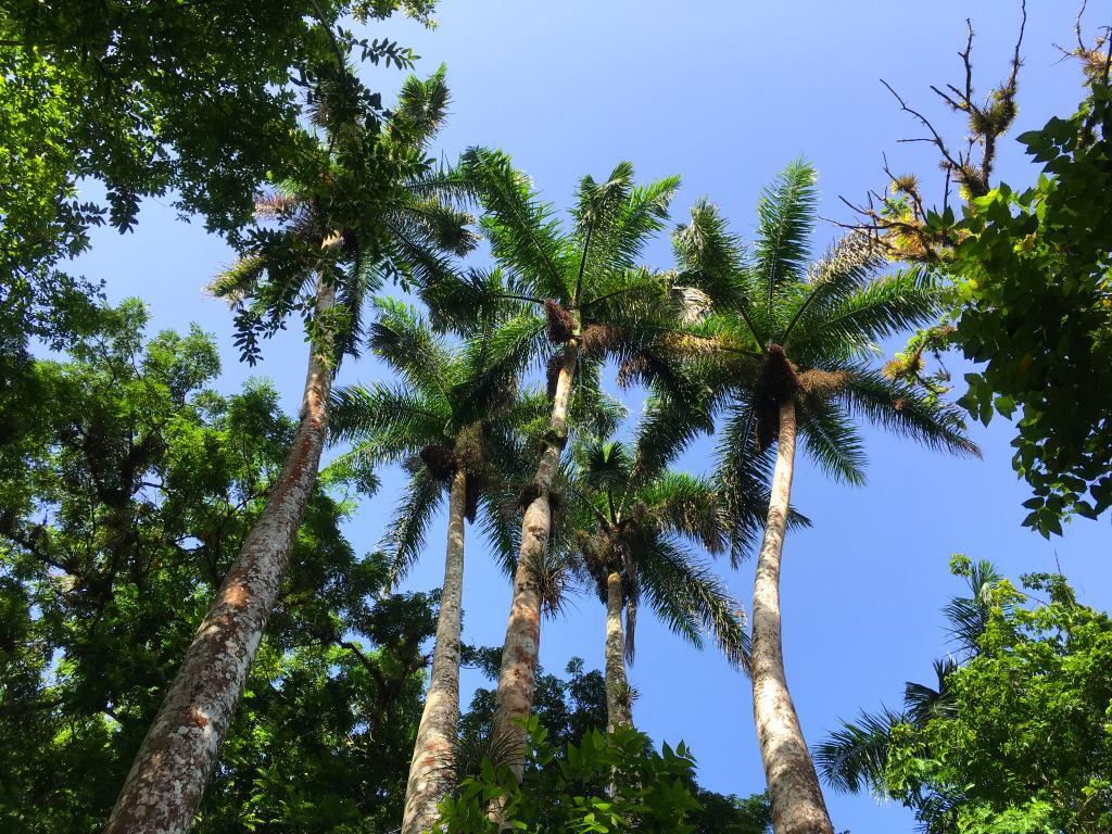 el nico palm