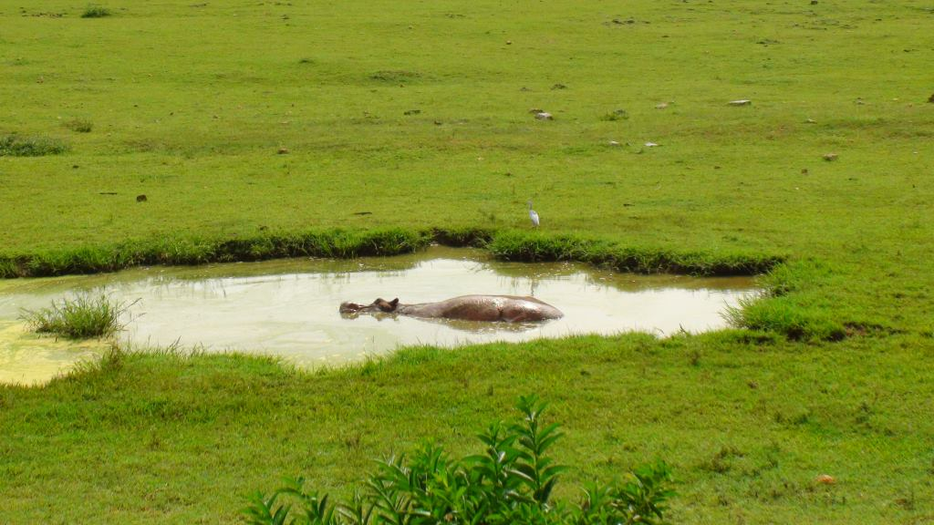 havana zoo hippo
