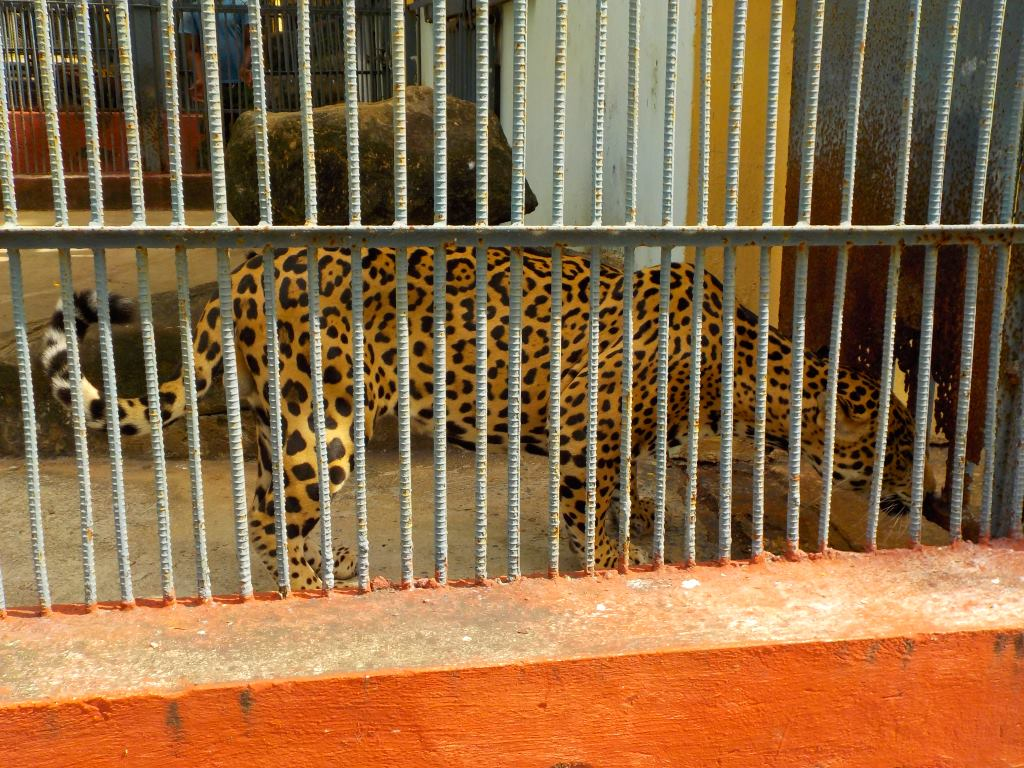 leopard zoo