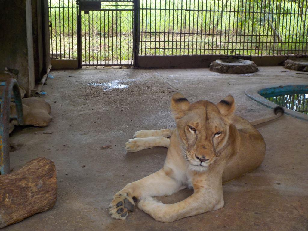 Lion zoo havana