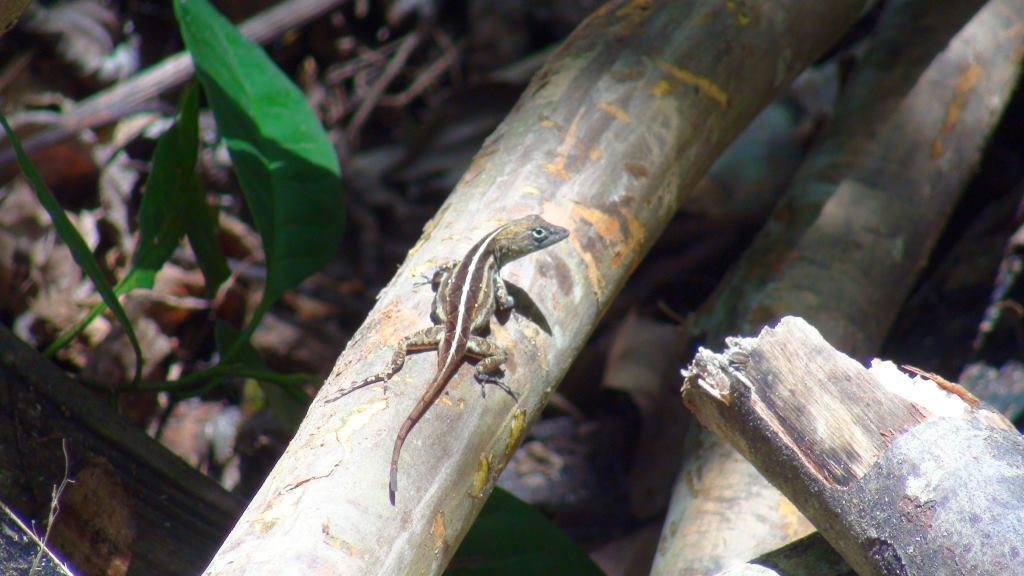 lizard reptile cuba