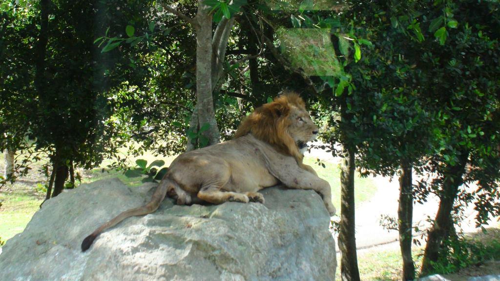 lions zoo havana